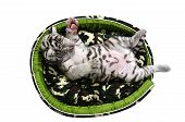 pic of white tiger cub  - baby white tiger laying in a mattress isolated on white background - JPG