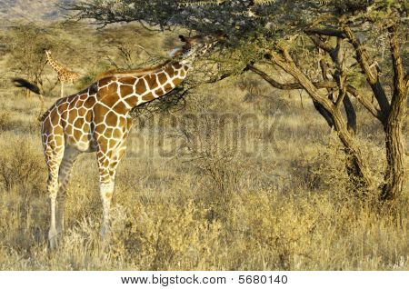 Somali Giraffes Feeding In Bush