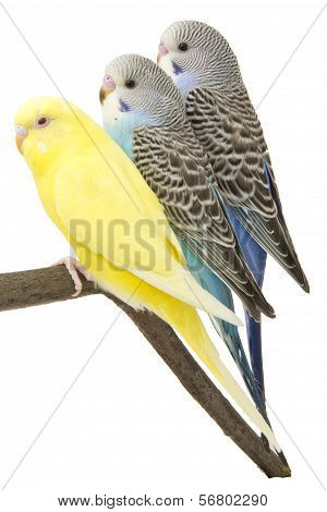 Three Budgies Are In The Roost