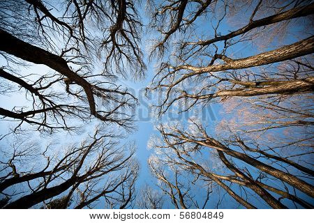 View Of The Trees From Below