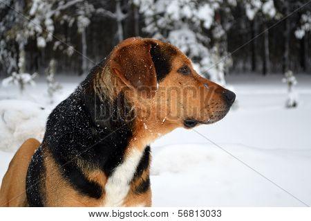 pye-dog