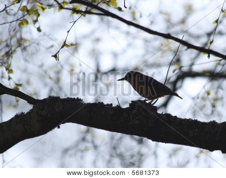 Small Mockingbird