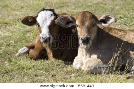 Springtime Charolais Crossbreed And  Simmental Calves
