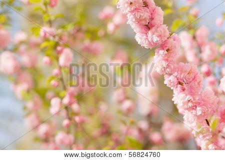 a branch with beautiful pink flowers on natural defocused  background. Amygdalus triloba. very shallow depth of field.