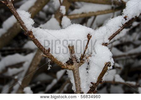 Snow-covered Bush In Winter