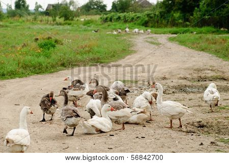 Gooses On Rural Path