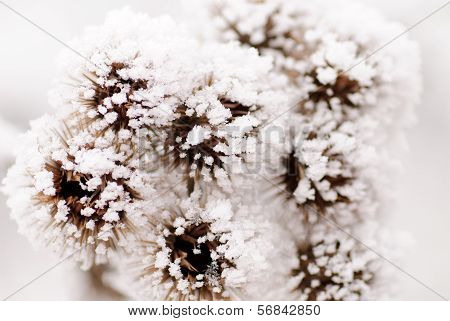 Bur On The Frost