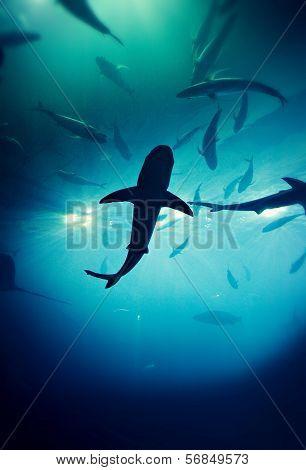A Grey Reef Shark