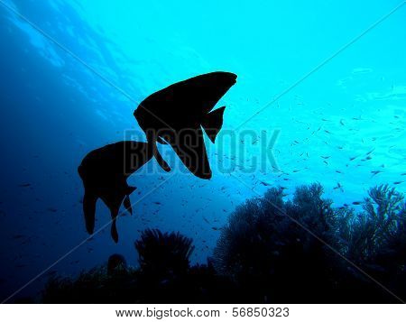 Longfin Batfish couple shadow silhouette underwater
