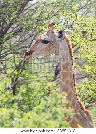 Giraffe In Etosha, Namibia