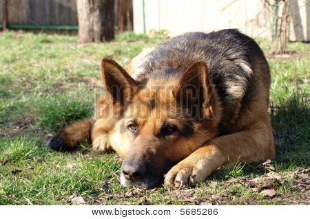 A German Shepher Dog