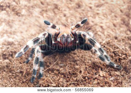 Ngandu Chromatus Tarantula In Terrarium Background