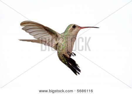Isolated Broad-billed Hummingbird (cynanthus Latirostris)