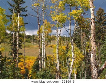 Aspens During Fall