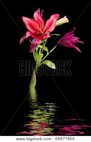 Wet Daylilies On A Black Background
