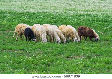 Herd of sheep.