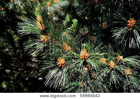 Pinus peuce (Macedonian pine). Needles and kidney closeup