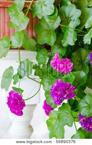 Pink Geranium Flowers Standing On The White Balustrade