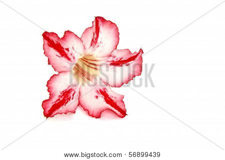 Red Desert Rose Flower