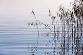 image of bent over  - reeds bent over the smooth surface of the lake - JPG