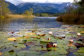 image of bavaria  - water lily flowers on Barmsee lake Bavaria Germany - JPG
