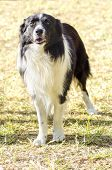 stock photo of sheep-dog  - A young healthy beautiful black and white Border Collie dog standing on the grass looking very happy - JPG