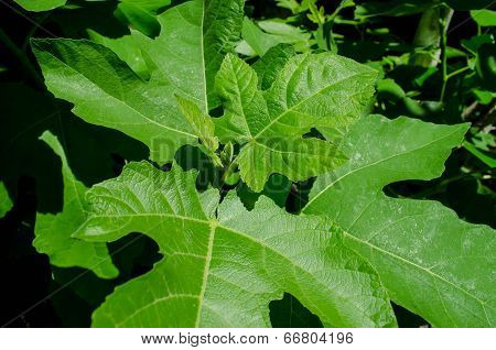 Young shoots of the fig tree