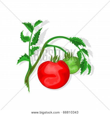 Tomatoes With Leaf Vector