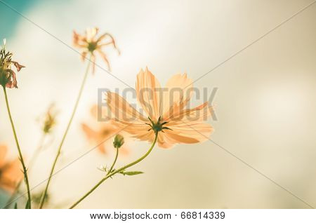 Yellow Cosmos Flower Vintage