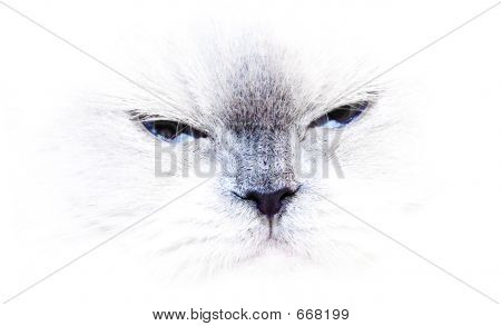 A Blue Point Himalayan Cat