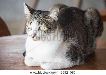 Young Cat Sitting On A Wooden Table
