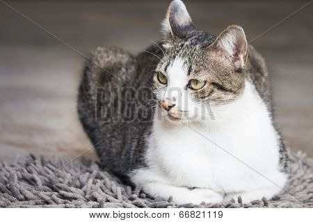 Male Cat Sitting On Carpet