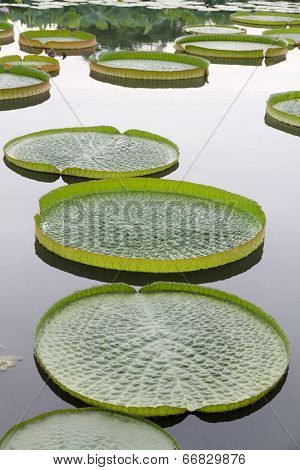 Giant Victoria lotus in water