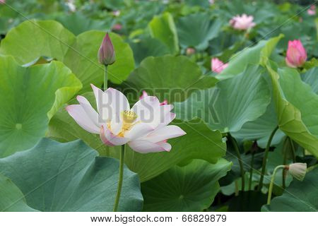 Beautiful lotus flower blooming in early summer
