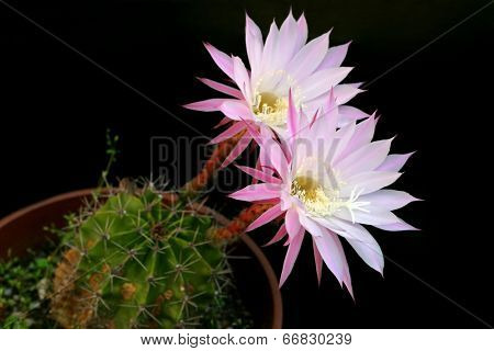Flower from cactus which is blossom only for a day on black background