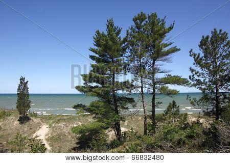 Eastern White Pines On Sand Dune Ridge
