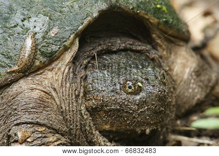 Closeup Of Female Snapping Turtle