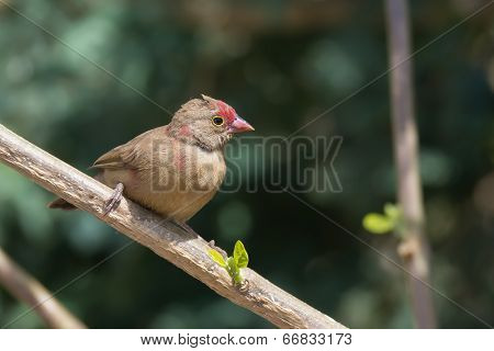 Female Red-billed Firefinch (lagonosticta Senegala) Perched On A Branch