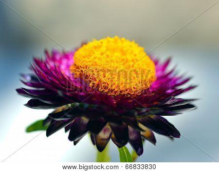 Immortelle, Everlasting, Flower, Strawflower