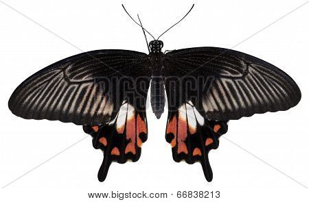 Tropical Butterfly Papilio Polytes