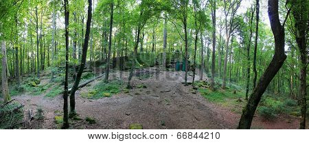 Forest Panorama With Loosely Growing Trees And A Clearing