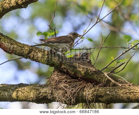Turdus Pilaris Bird Feeding Its Nestlings