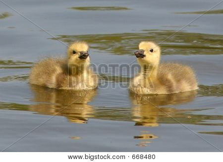 A Pair Of Goslings