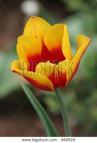 Single Tulip