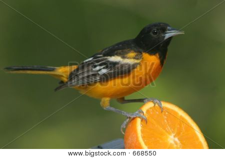 Oriole landing on orange