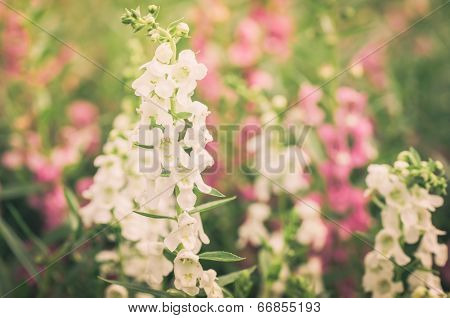 Antirrhinum Majus Or Snapdragons Or Dragon Flowers Vintage