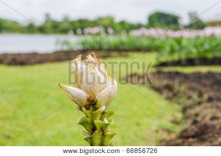 Curcuma Alismatifolia Or Siam Tulip Or Summer Tulip