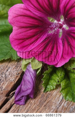 Pink Flower Wild Mallow With A Bud Macro On A Wooden