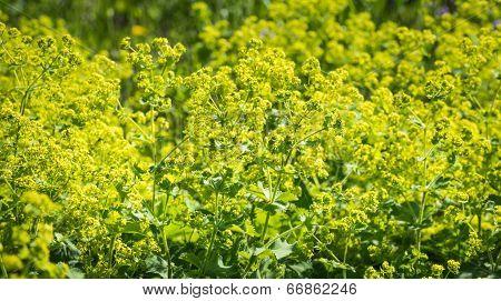 Budding And Flowering Alchemilla Mollis Plants