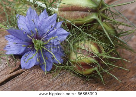 Nigella Flower With A Bud Macro On A Wooden Table